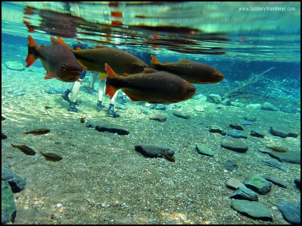 bonito fish black