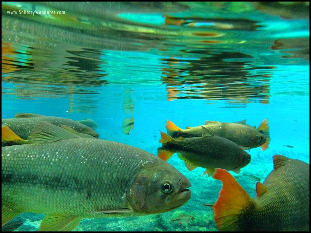 bonito fish gold