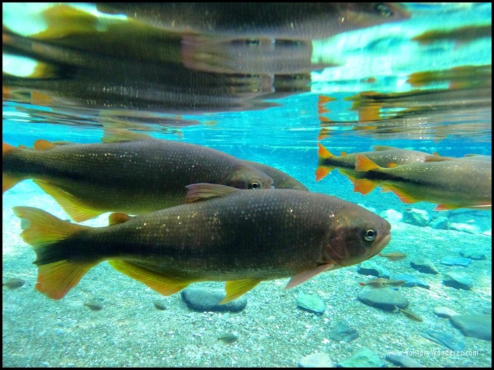 bonito fish yellow